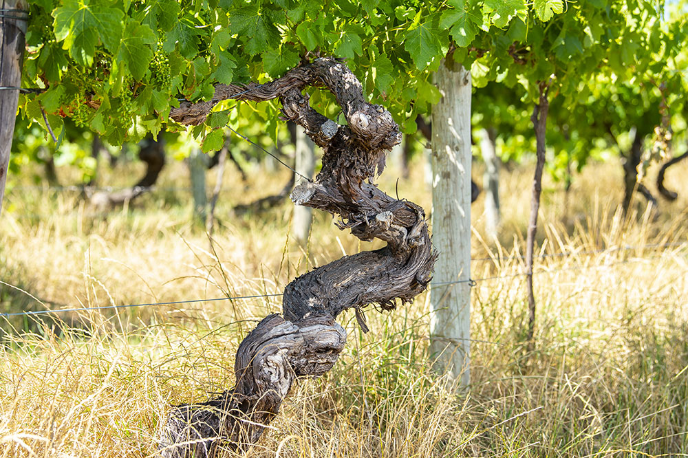 1891 Ancestor Shiraz Vines